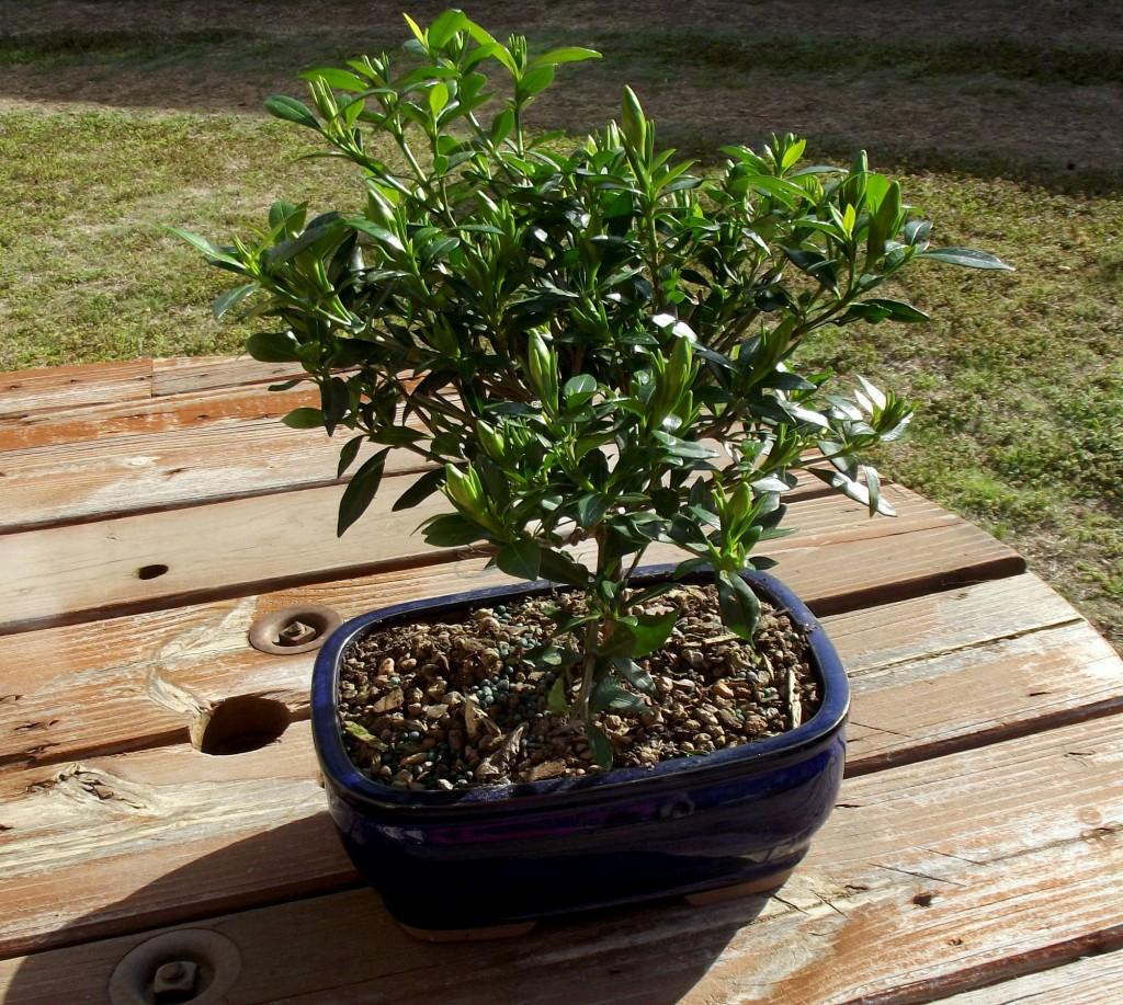 Gardenia Bonsai Tree