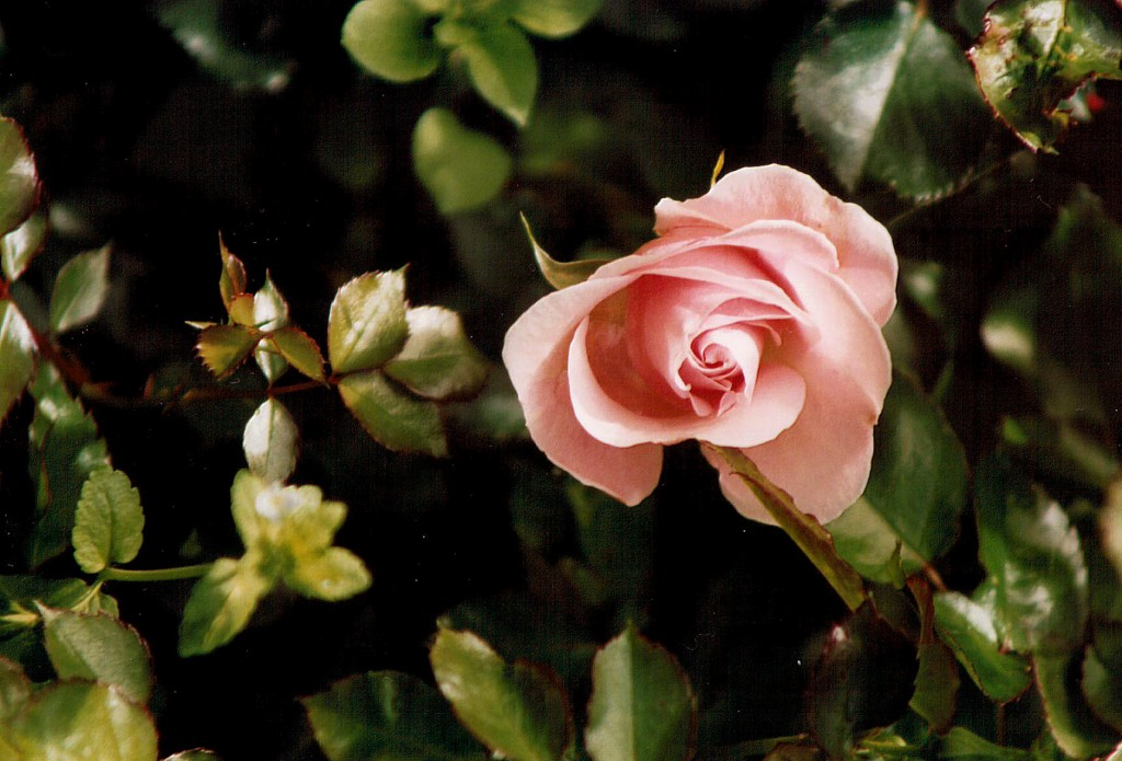 Tips for Growing Successful Roses
